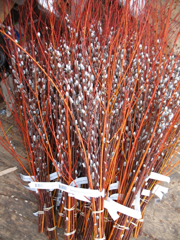 pussy willow flame.jpg