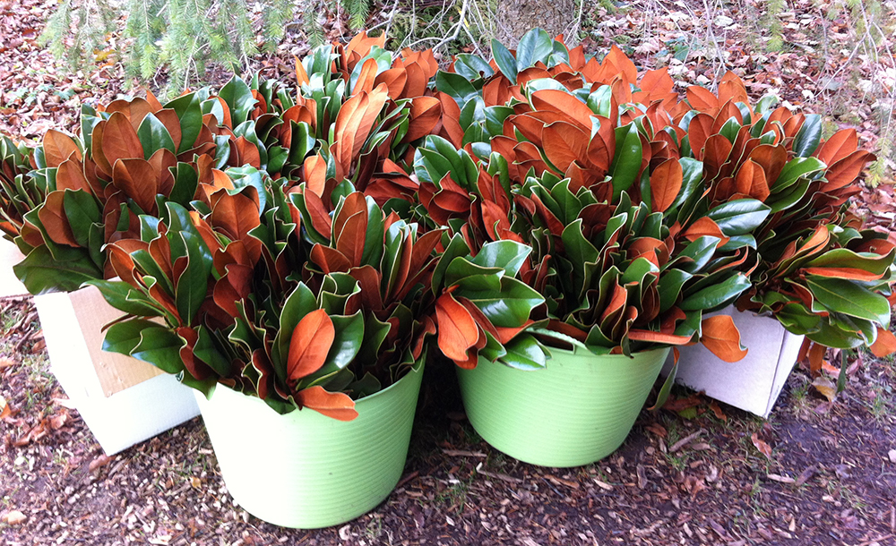 Magnificent magnolia leaves look great with evergreens and branches in an urn.