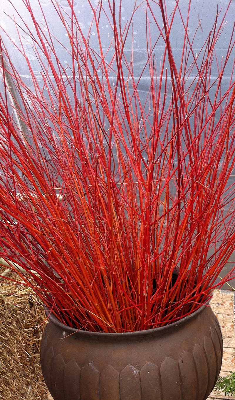 Flame willow.