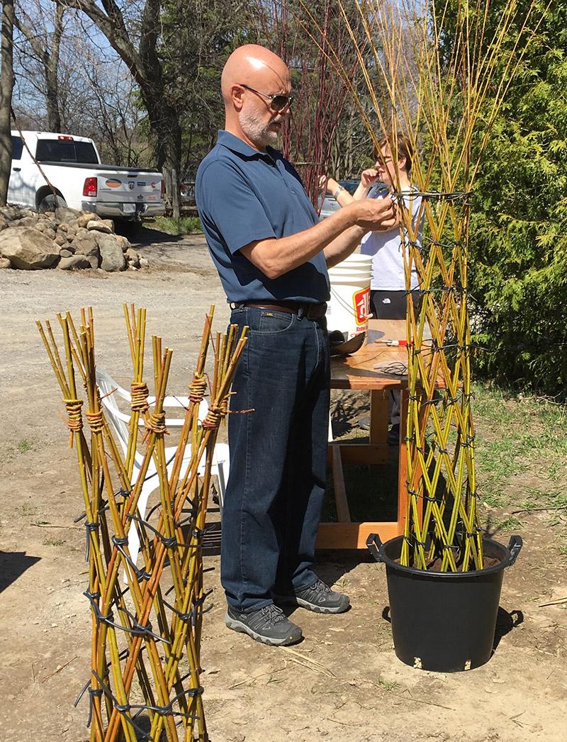 Living Willow Tree