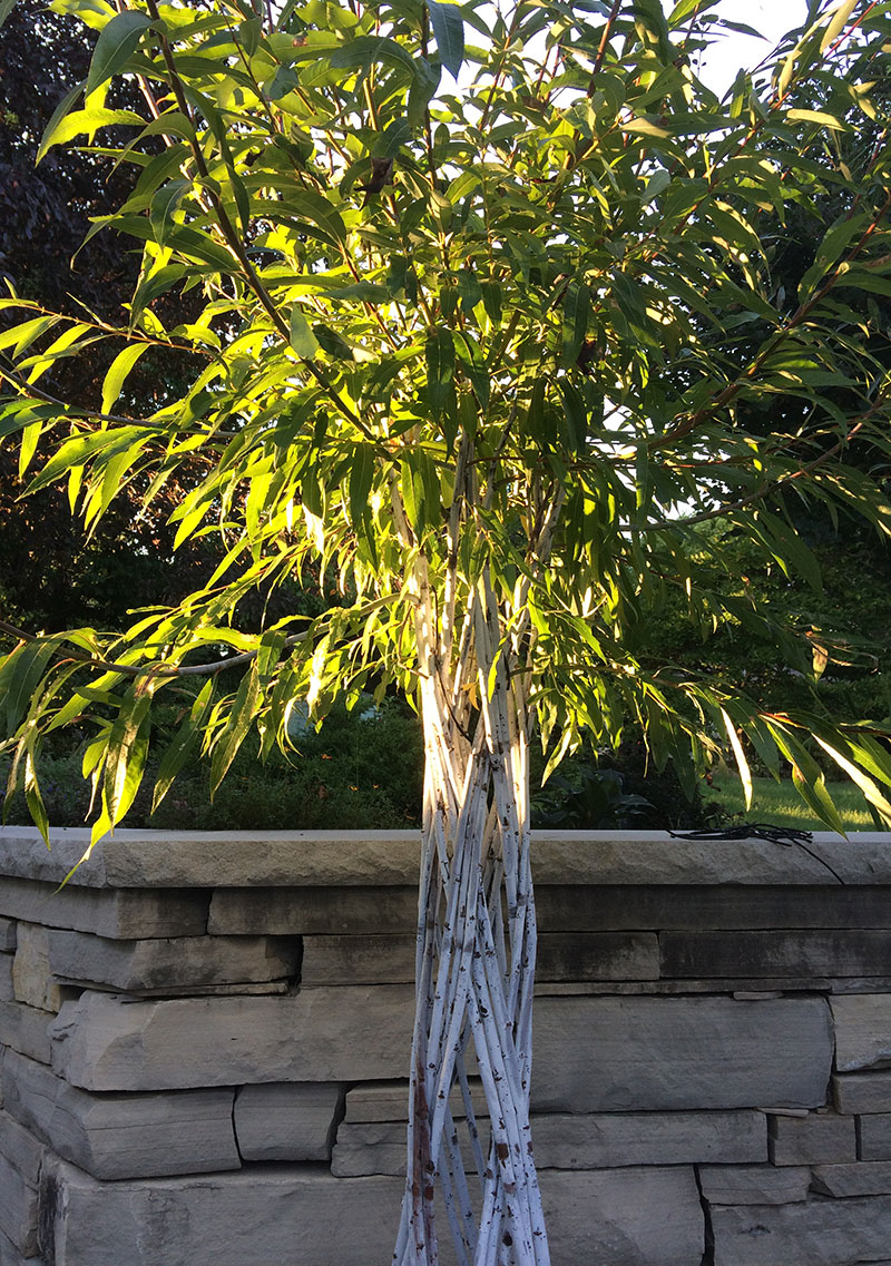 Violet Willow Tree showing it's white bloom