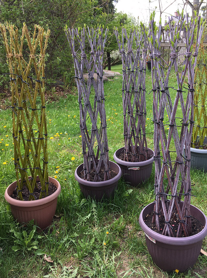 New growth on newly planted Violet and Green Willow Trees