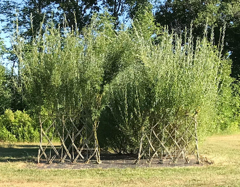 Our living willow demonstration gardens year three.