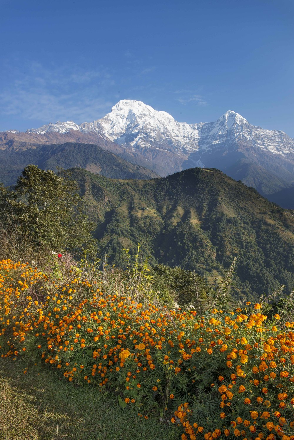 The view from our lodge. In the two regions I would visit in Nepal, these flowers were every where.