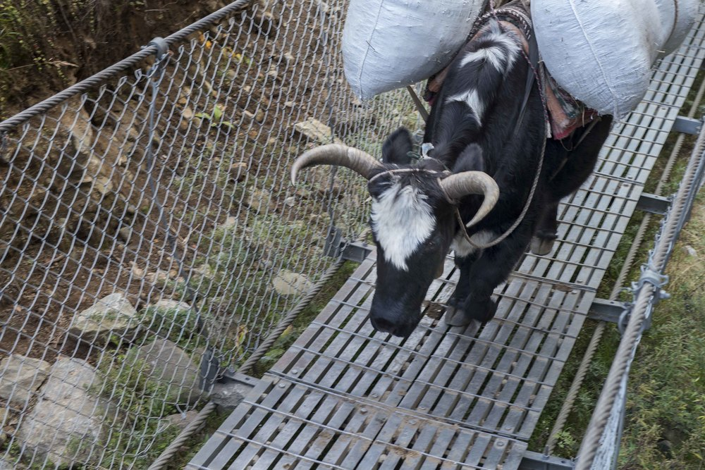 Yaks also use suspension bridges, sometimes if it was a large group of them, we'd have to wait 15 minutes to cross.