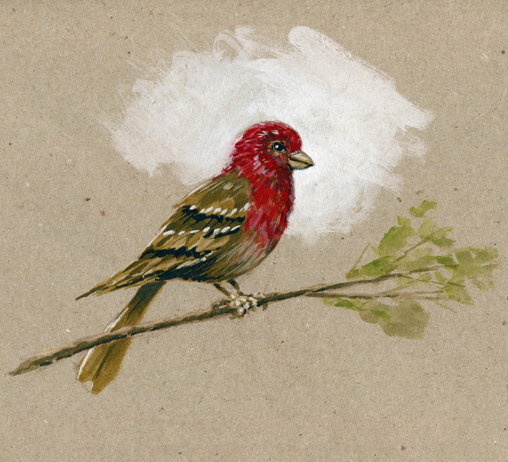 Roselin familier - House Finch.jpg