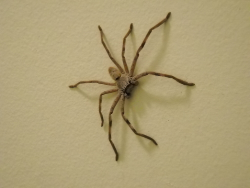 1140+-+collie+-+dave+farm+-+huntsman+spider+in+bathroom.jpg