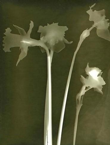 daffodil_green.jpg