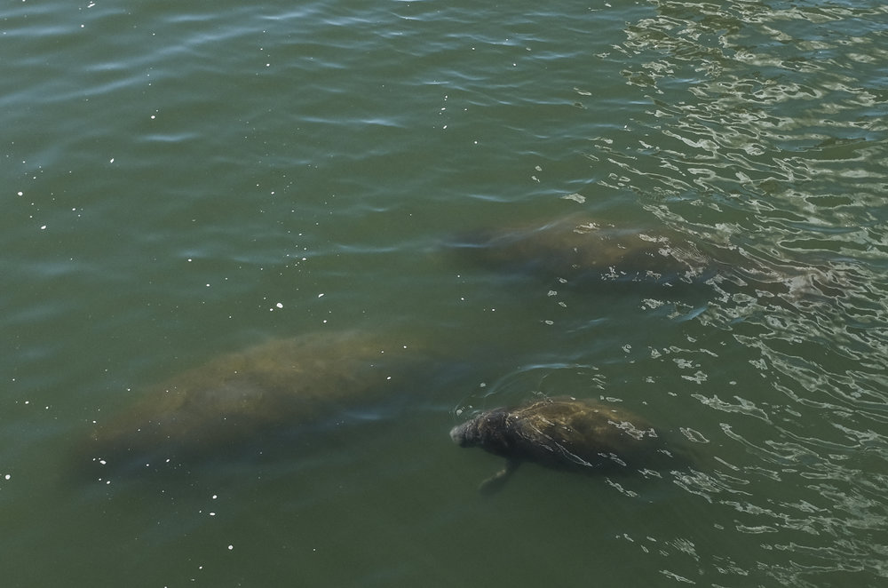 Manatees swim in the discharge channel at the Big Bend Power Station on Sunday February 12, 2017, and are seen from the Manatee Viewing Center in Apollo Beach.