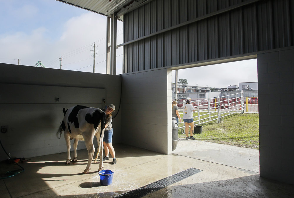 Kaleigh Gonzales, 17, from Armwood Future Farmers of America cleans a Holstein cow named Macy in the Livestock area before the opening of the Florida Strawberry Festival on Thursday March 2, 2017. Dairy show participants, who come from Hillsborough, Polk, Pasco, Manatee & Sumter Counties schools, will show their animals on Saturday March 4. The Strawberry festival runs from March 2 through March 12.