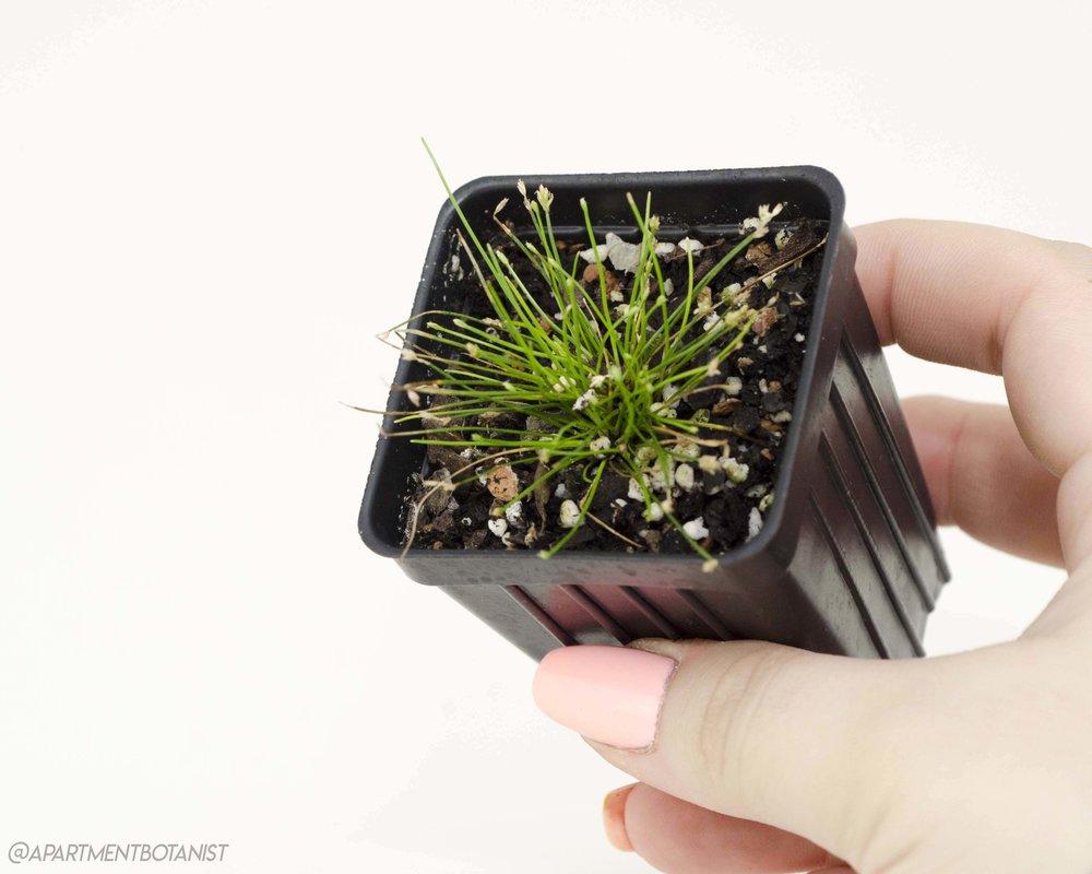 Eleocharis radicans    Bonsai grass