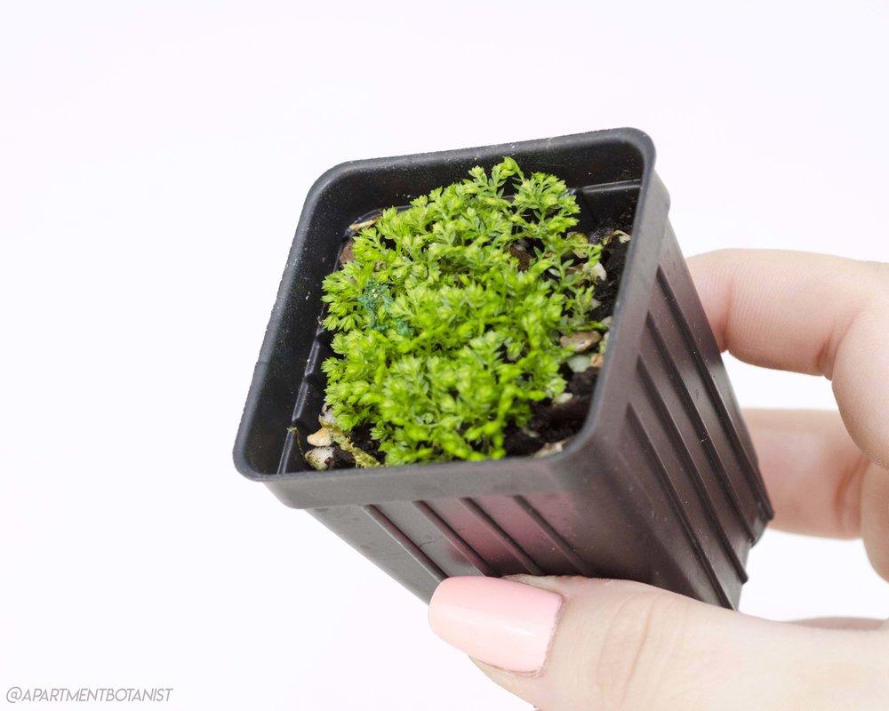 Selaginella kraussiana 'Brownii'    Pincushion spikemoss