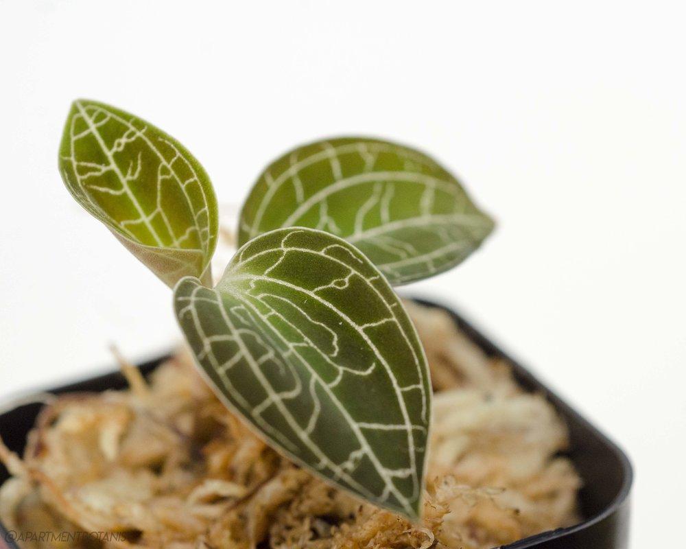 Dossinochilus Dreamcatcher    Jewel Orchid