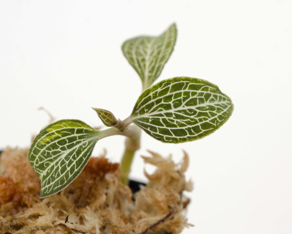Ludochilus Poly   Jewel Orchid