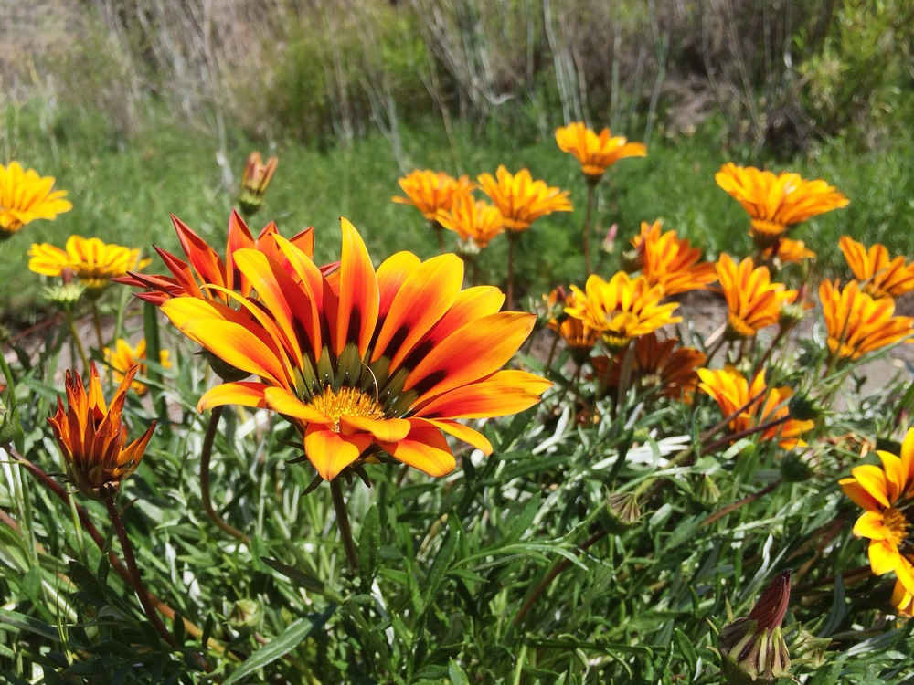 Some vivid orange flowers--I'm no flower expert here--and they do reflect our weather quite nicely.