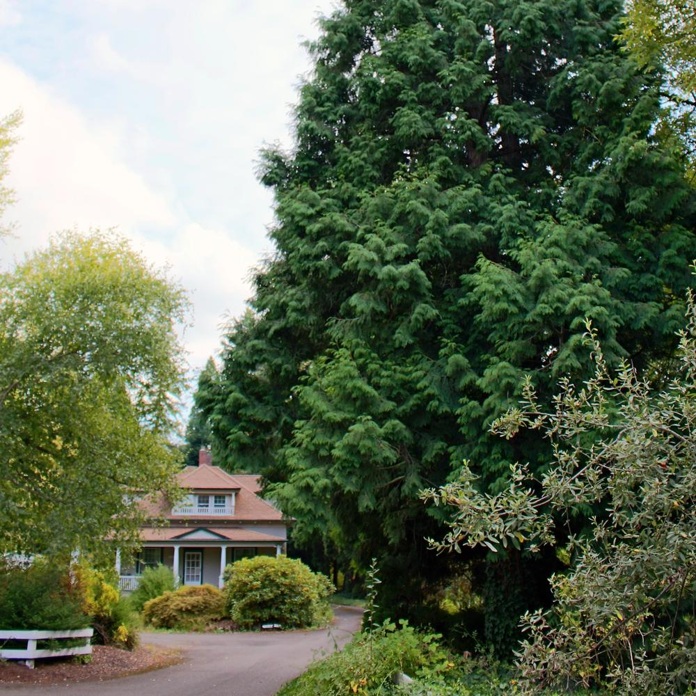 A vintage bungalow and a Hogan cedar near our home outside Portland, Oregon