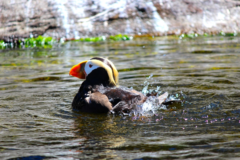 Tufted Puffin at the Oregon Coast Aquarium's seabird aviary exhibit