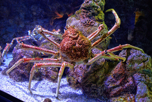 Japanese Giant Spider Crab by  Choo Yut Shing  (photo from  Underwater World  in Singapore)