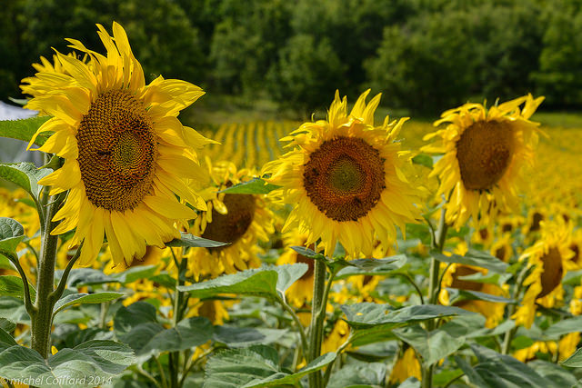 Tournesols by  Michel Coiffard