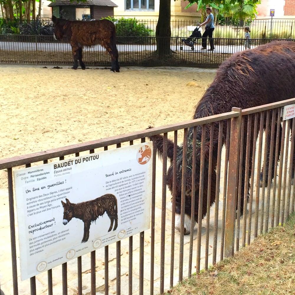 The shaggy French donkeys (baudets de Poitou) at the Ménagerie, Jardin des Plantes
