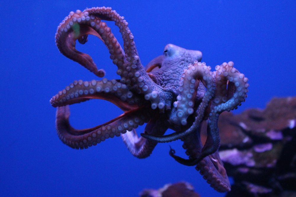 Maui Ocean Center's octopus (not the septopus known as Hank)