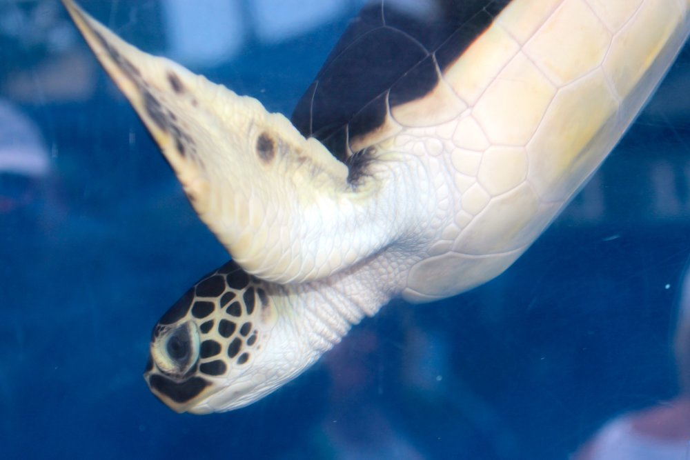 A young Green Sea Turtle - my son's favorite animal