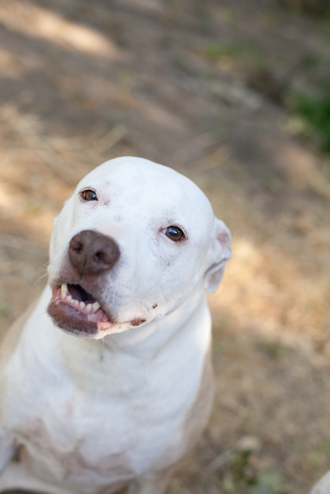 White pit bull looking at camera