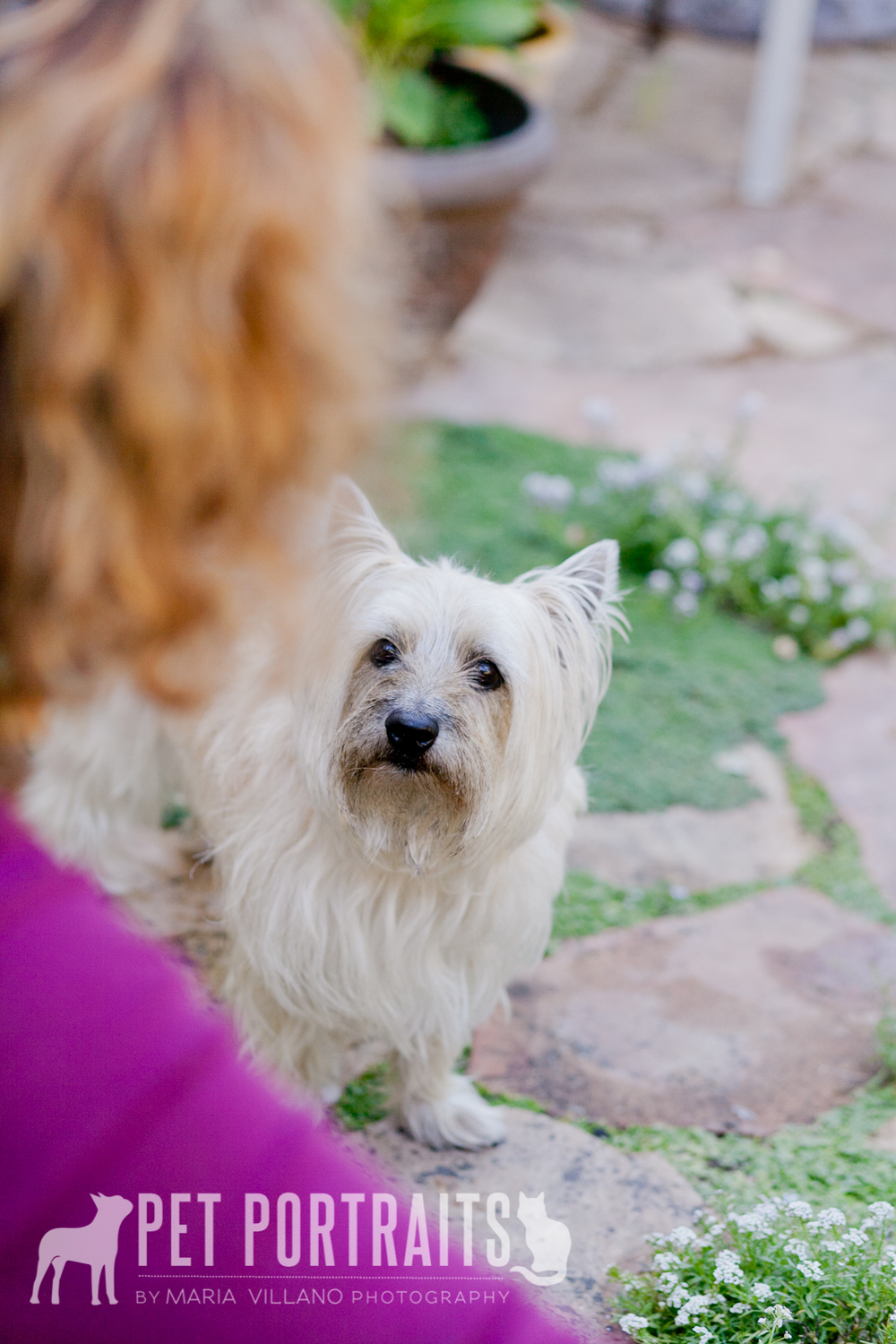 cairn terrier looking at owner, dog photographer santa rosa