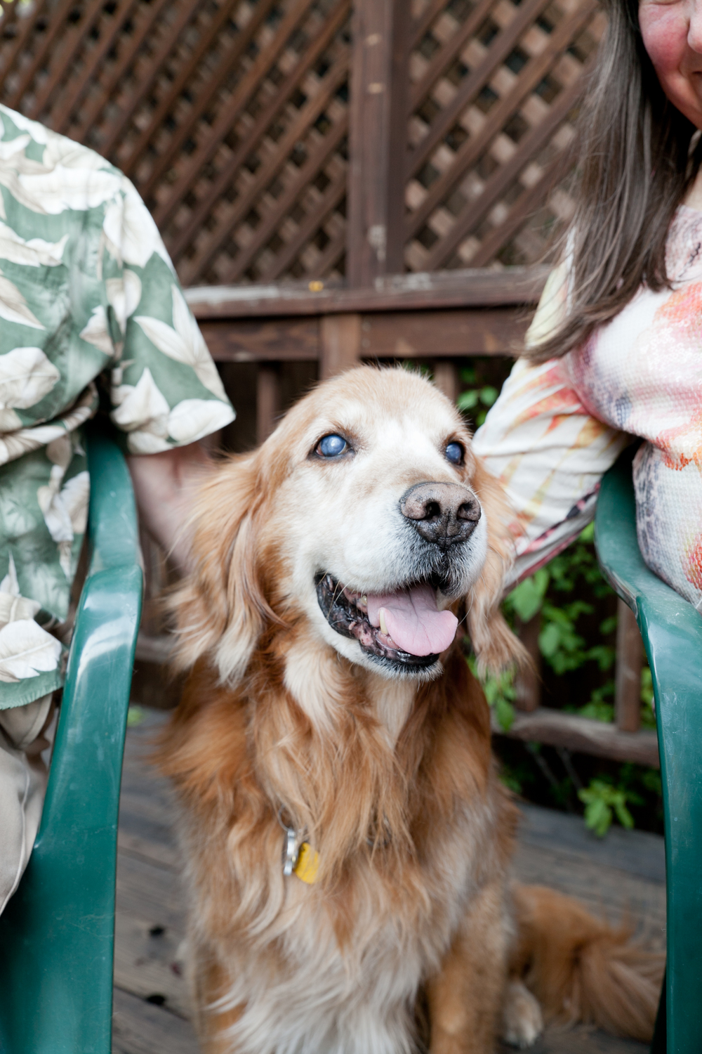 pet portrait of golden retriever in sonoma county