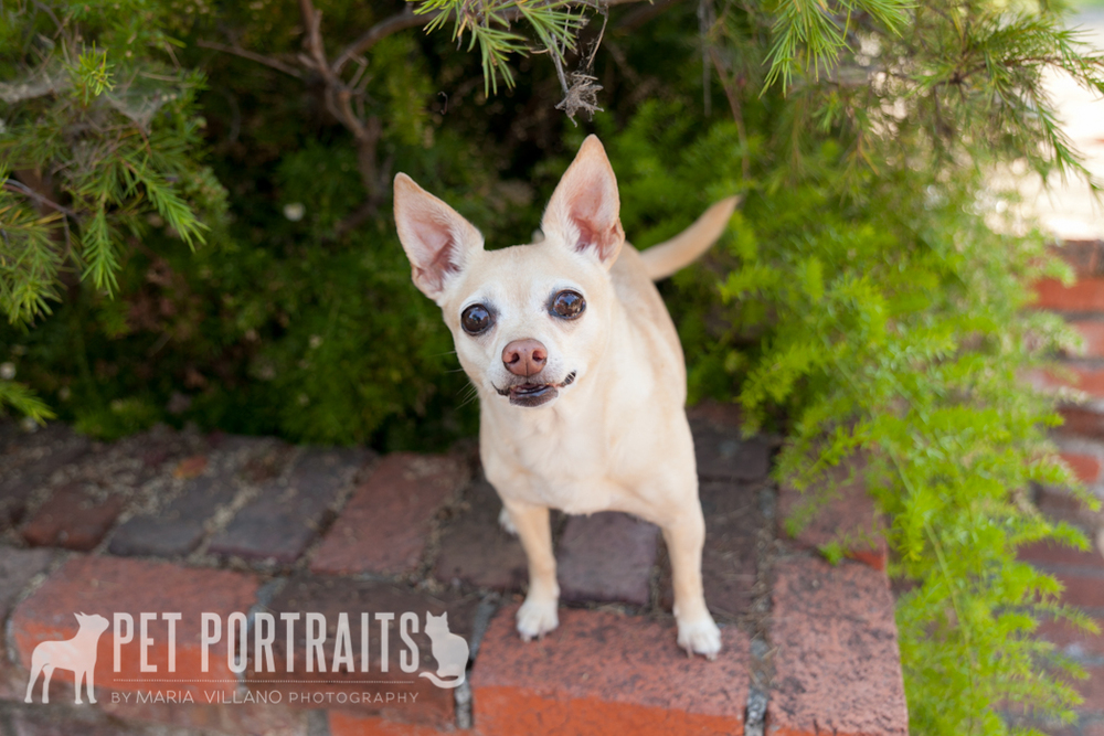 Dog photography in Santa Rosa, CA