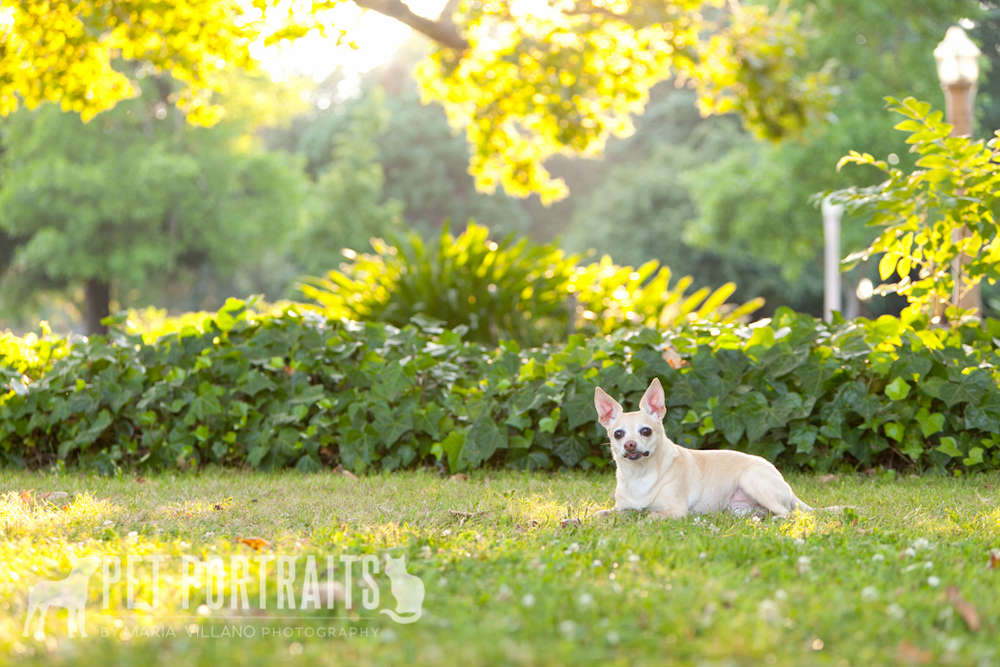 dog posing in beautiful light pet session santa rosa ca