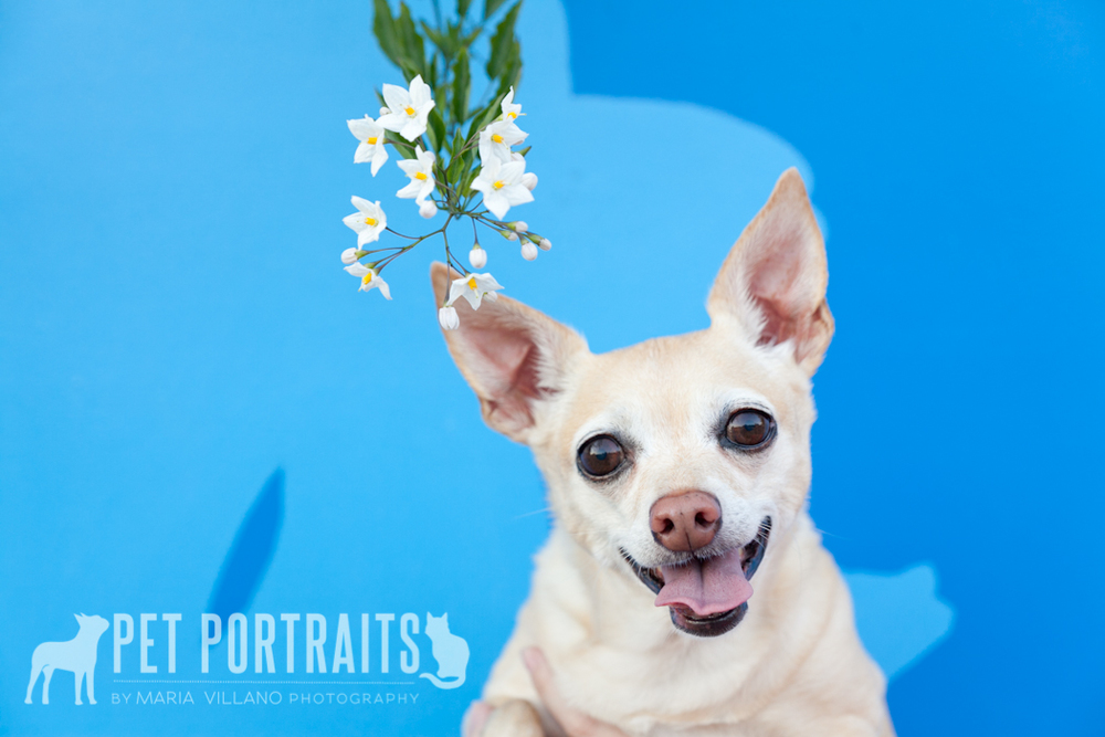 Dog against blue background with white flowers, dog photographer santa rosa