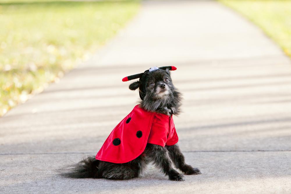 pomeranian in ladybug costume