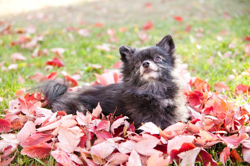 dog sitting in fall leaves santa rosa, ca