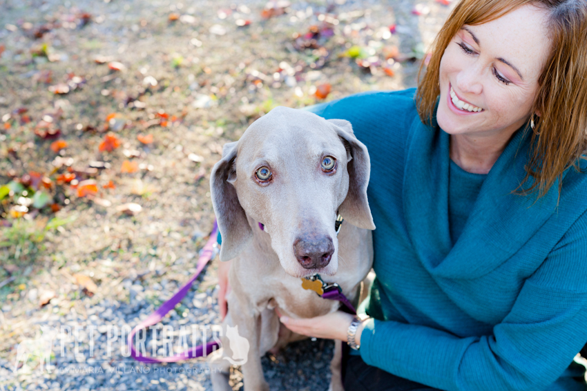 owner looking at pet weimeraner santa rosa dog photography