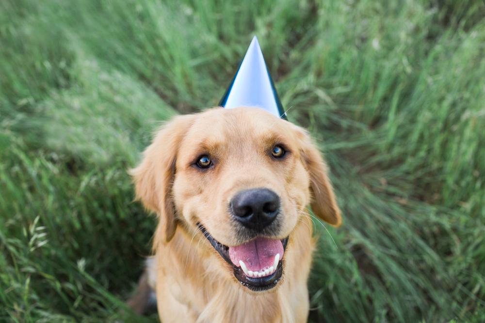 Golden Retriever in birthday hat Sonoma Pet Photography