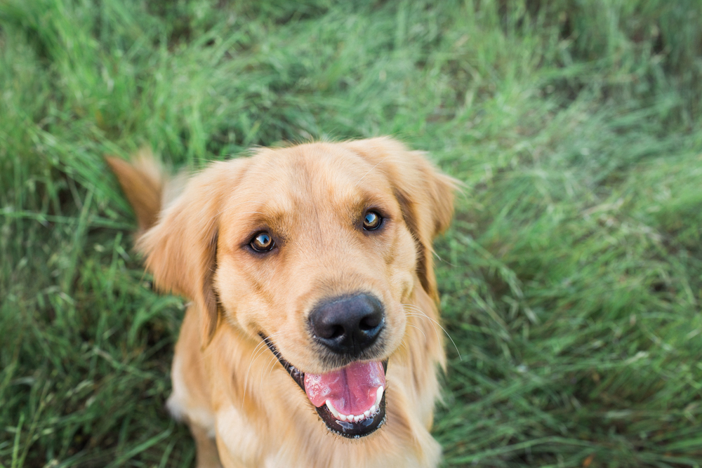Santa Rosa Golden Retriver Dog Photography