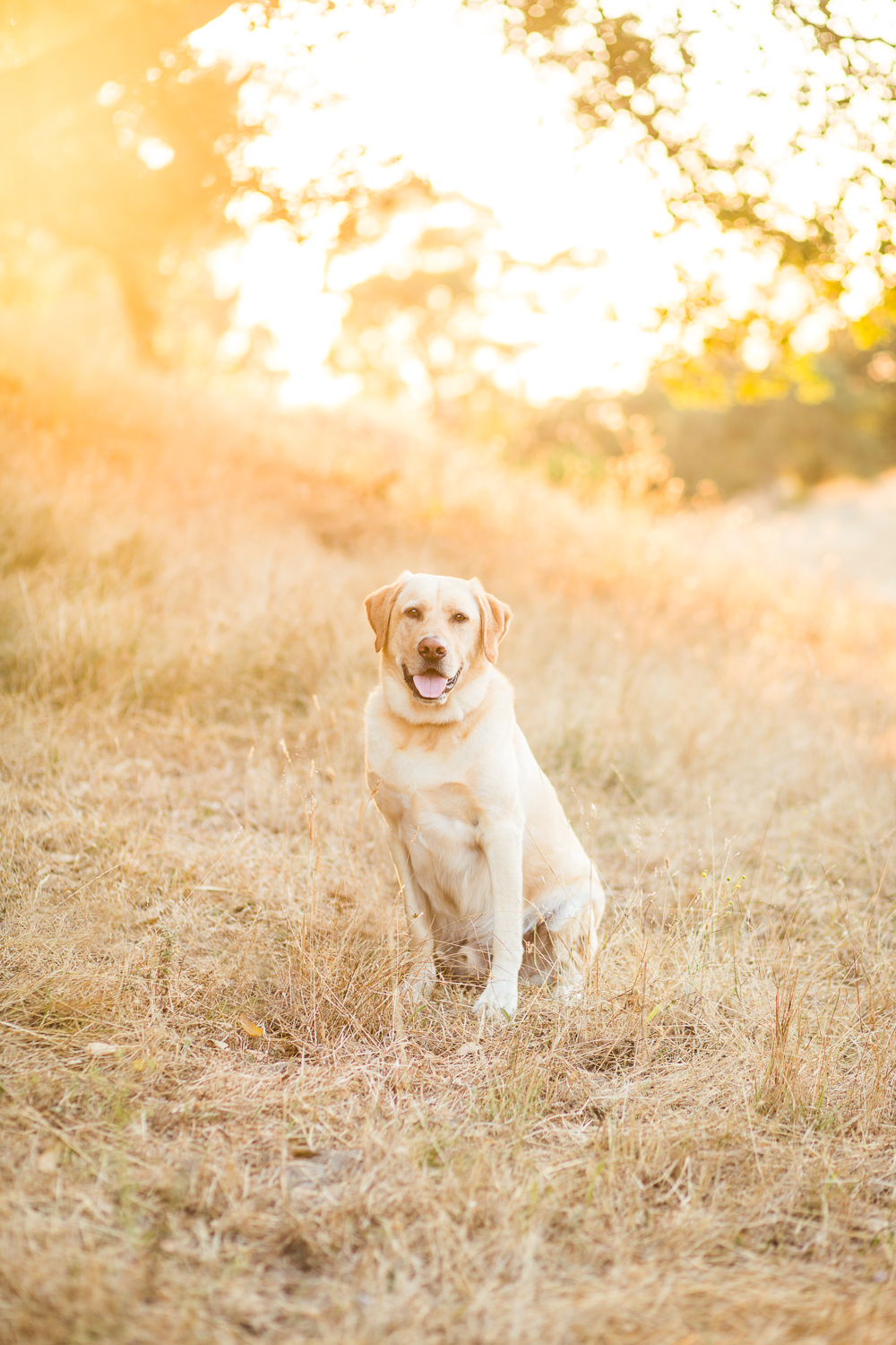 yellow lab pet photography sonoma pet photographer