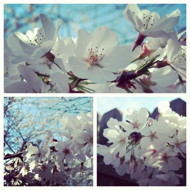 Blossom rapture