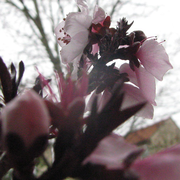 The inbetween time of peach blossoms and cold gray mornings