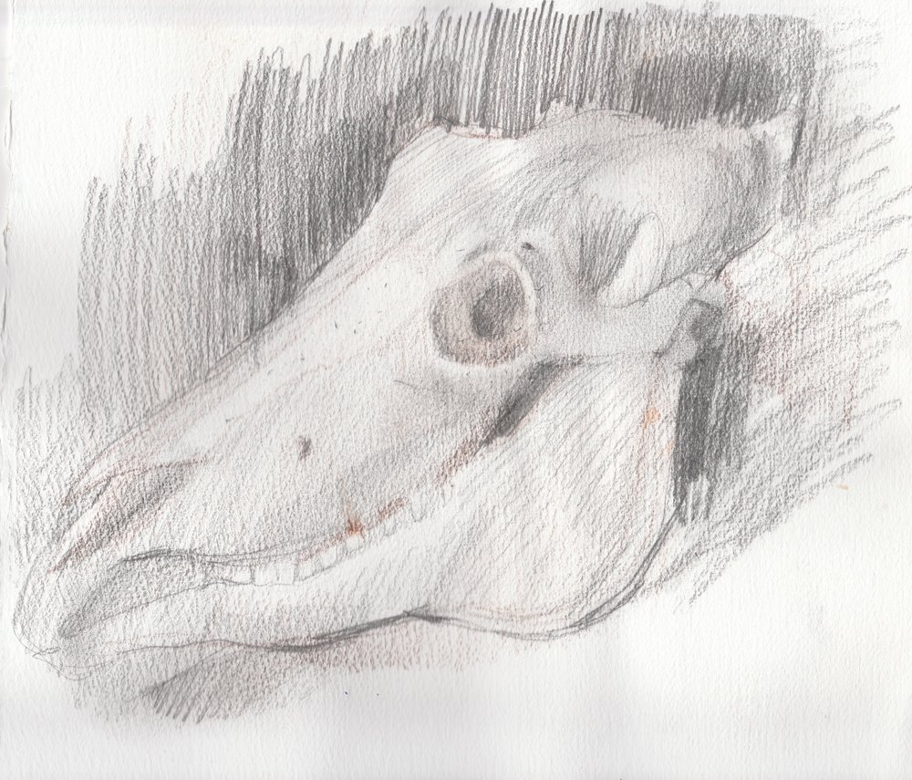 Study of a Horse Skull, Museum of Natural History, Halifax