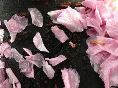 Petals on a wet black bough.JPG