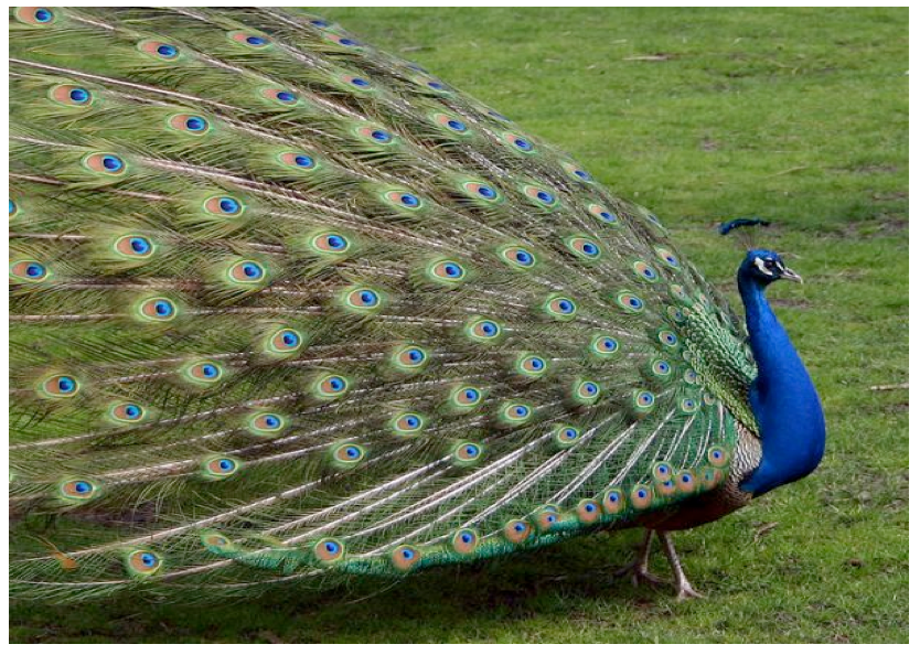 161 Words Essay for kids on national bird of India