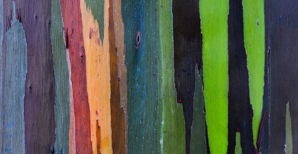 Rainbow Eucalyptus Tree - Maui, Hawaii