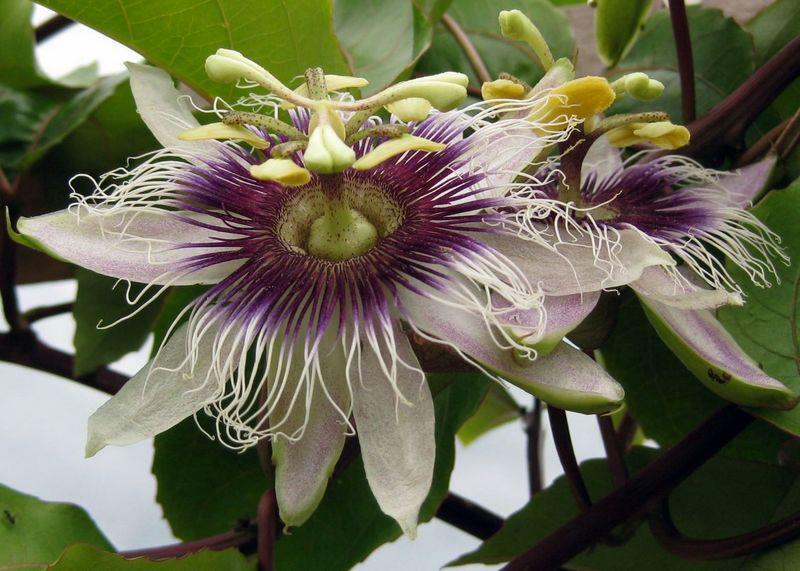 passionflowerbloomed.jpg