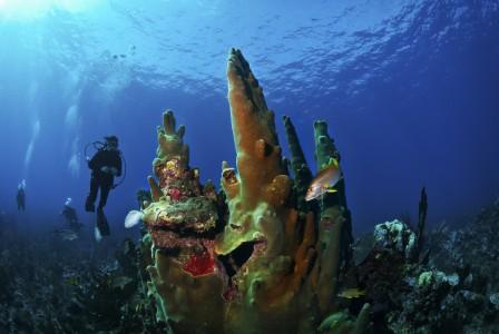 Scuba_Belize4_pillar-coral_ambergris-caye_72rgb-448x300.jpg