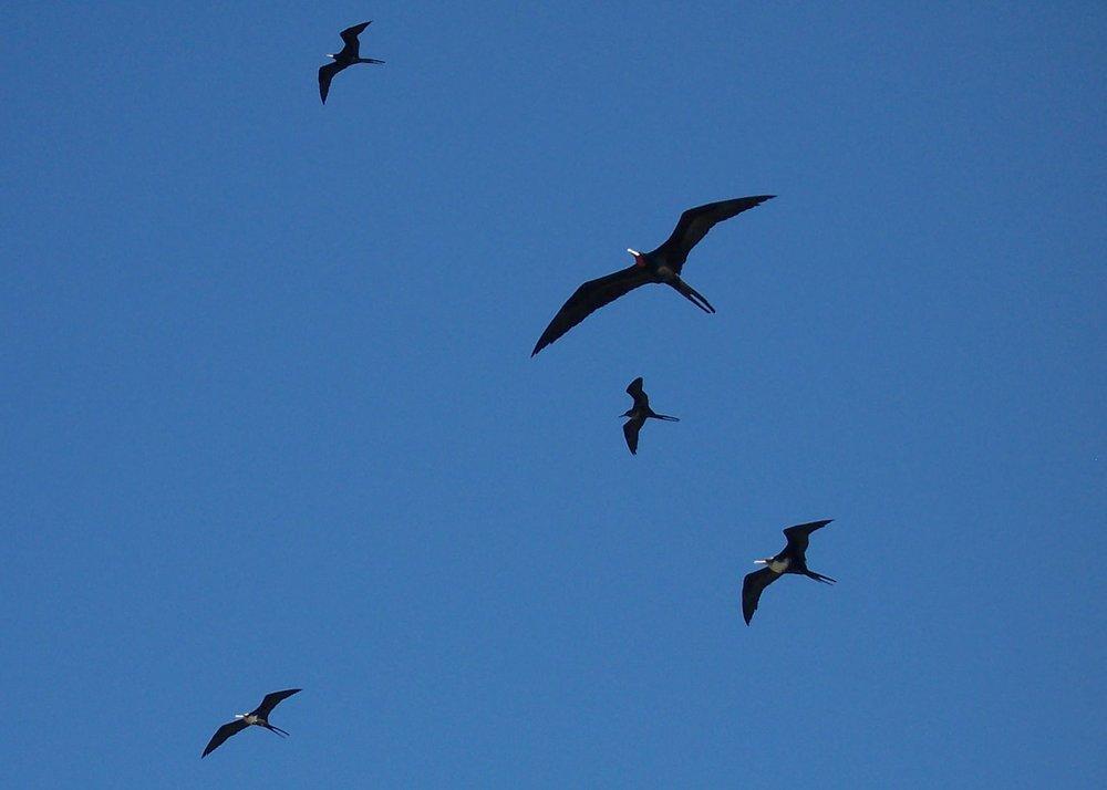 Frigatebirds.JPG