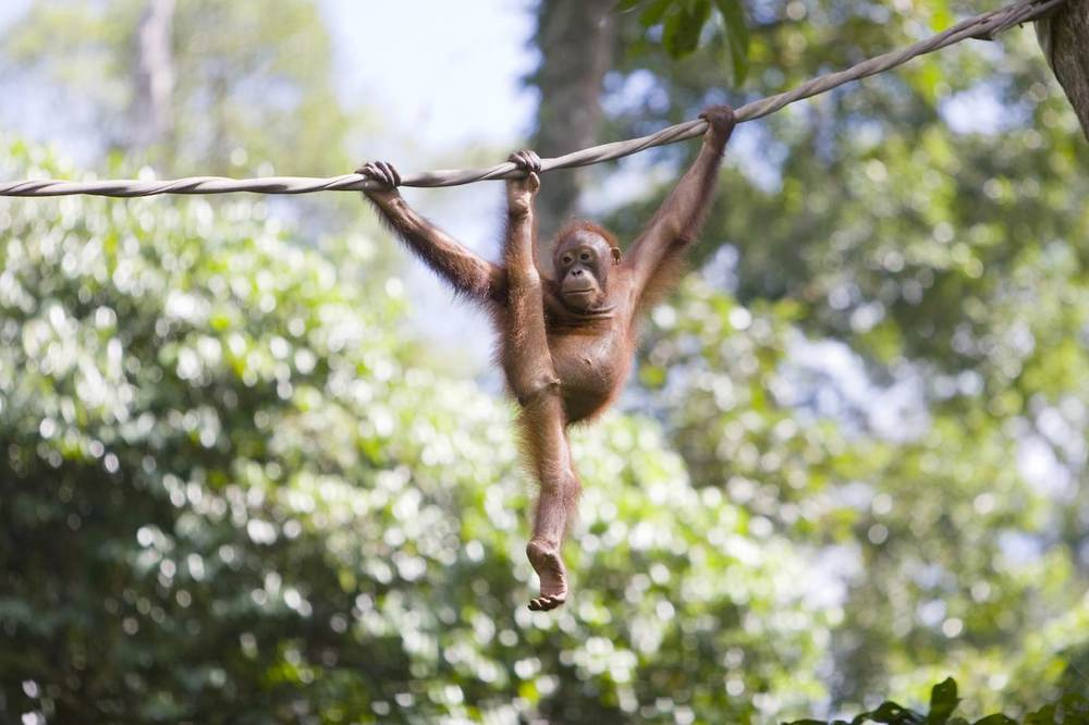 Young orangutan on Borneo.jpeg