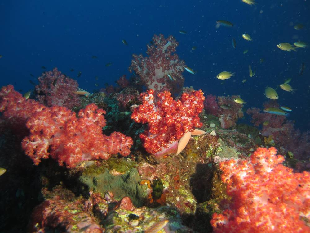 Corals at dive site in Mergui Archipelago Myanmar.jpg