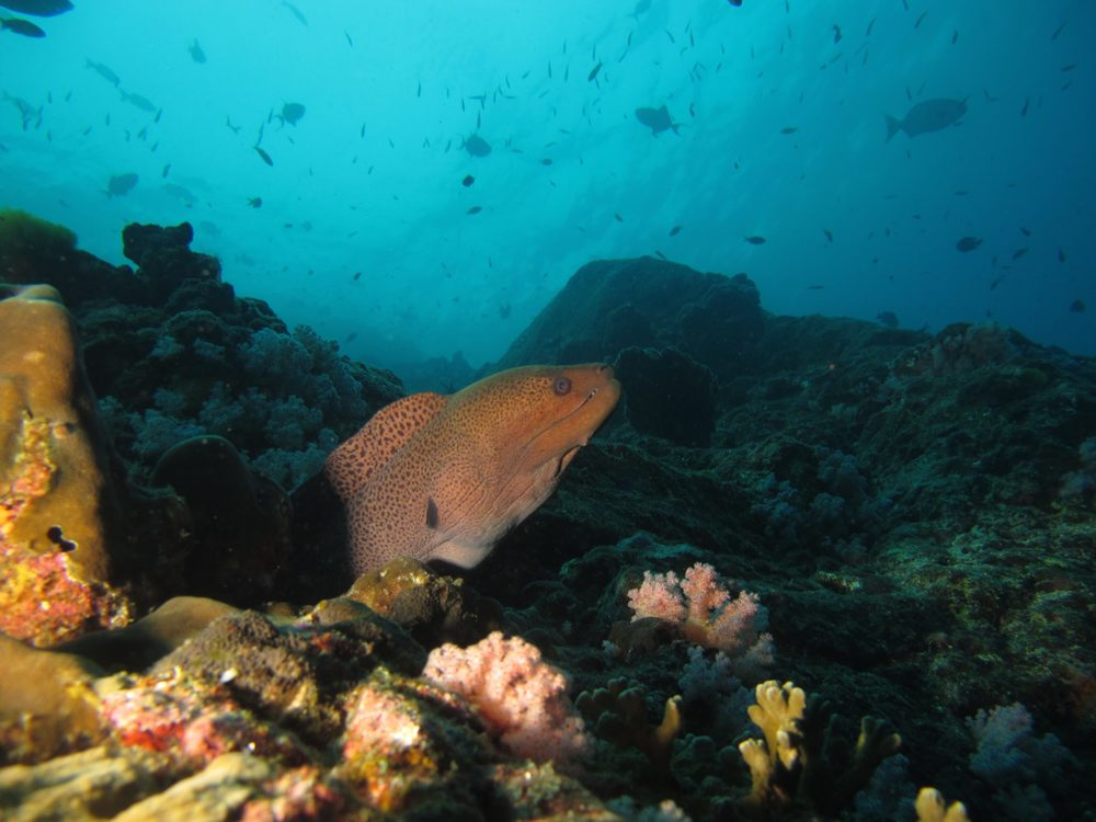 Moray eel, dive cruise, Myanmar.jpg